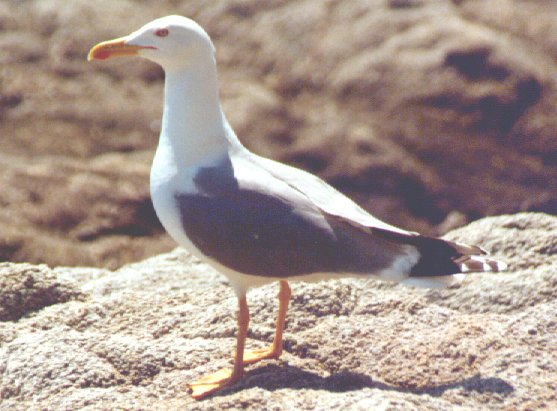 Mediterranean Yellow-legged Gull